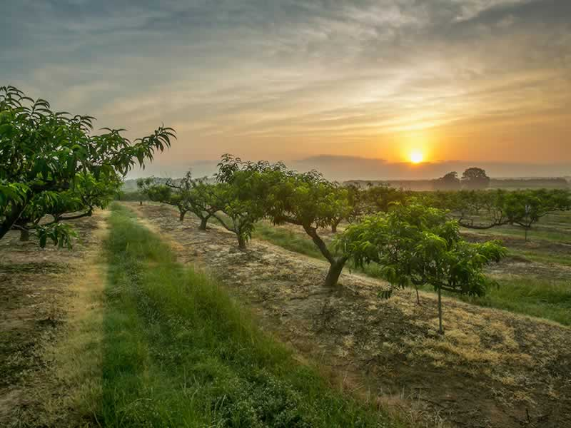 Peach orchard near Ruston, Louisiana