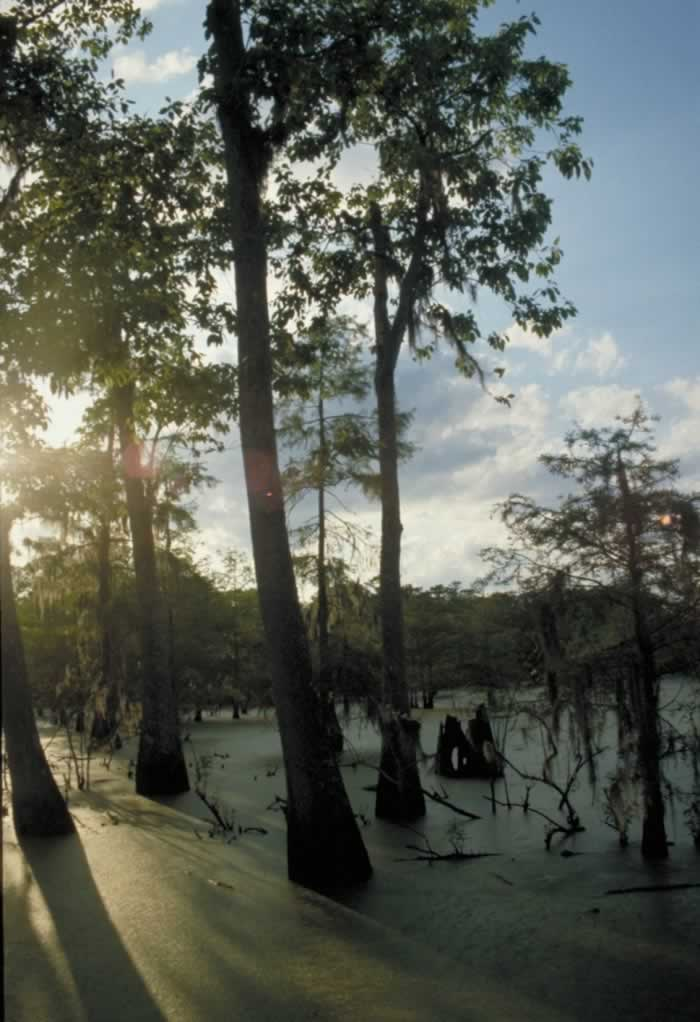 Towering cypress trees in a swamp in South Louisiana
