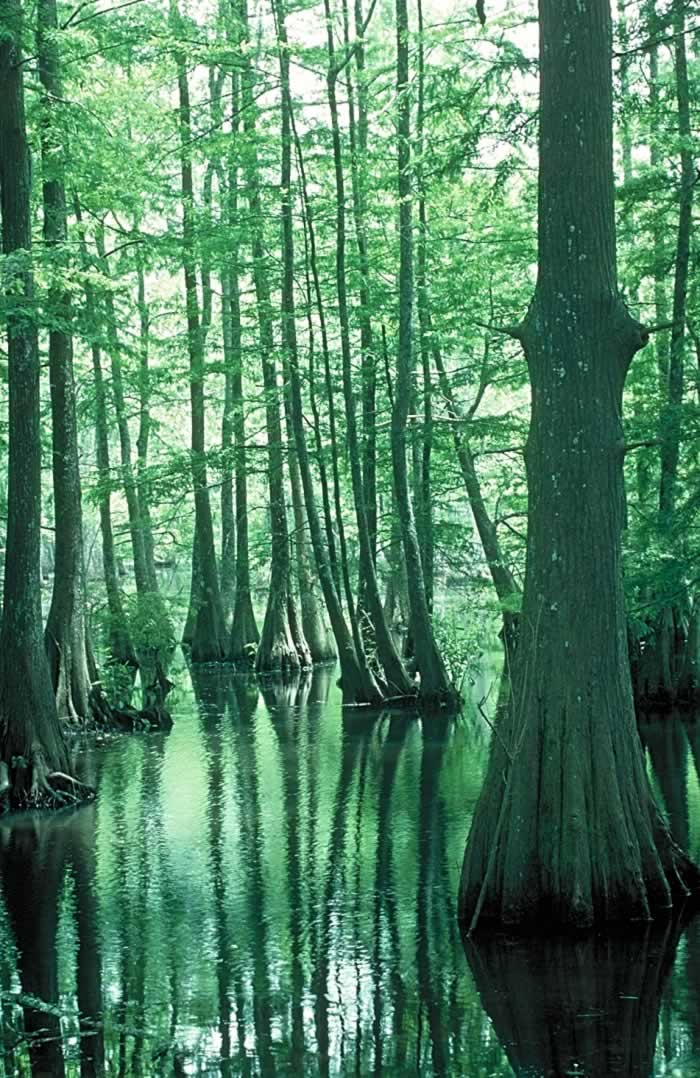 Green cypress trees and green water in the Louisiana Atchafalya swamp