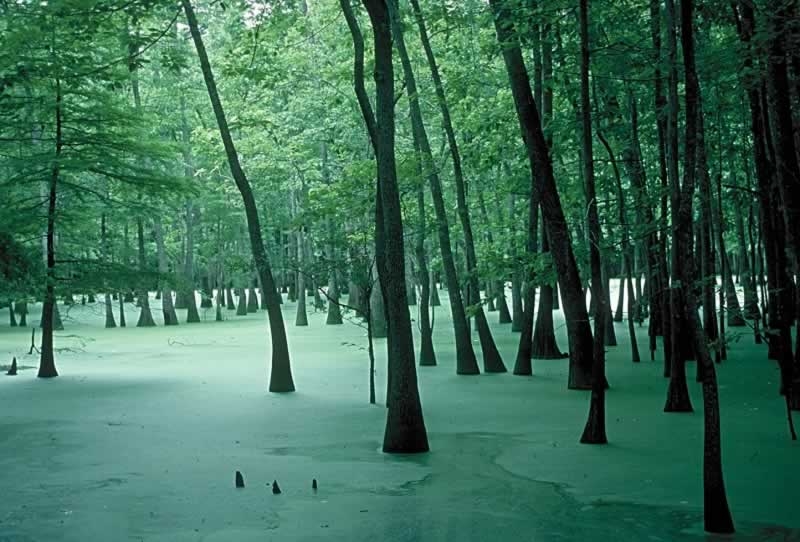 The quiet and beauty of a shaded Louisiana cypress swamp