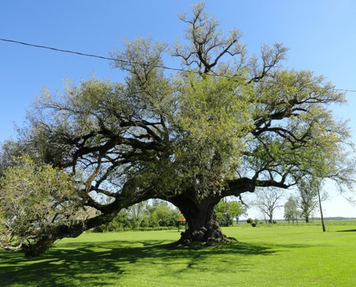 Ancient live oak tree, Labadieville, Louisiana