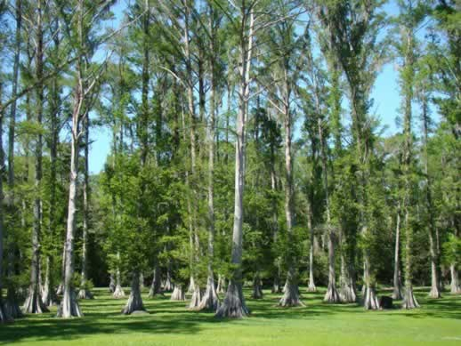 Cypress trees near Patterson, Louisiana