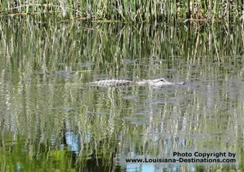 Alligator in a canal at Pecan Island, Louisiana