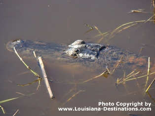 Alligator in a Louisiana swamp