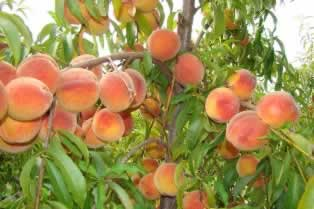 Ruston, Louisiana peaches