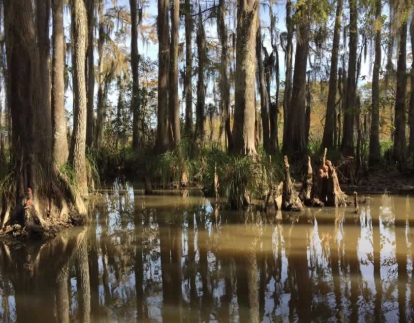 Cypress trees and cypress knees growing in the water at Honey Island in Louisiana